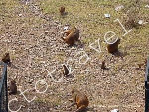 обезьяны Маклеод гандж, Индия
