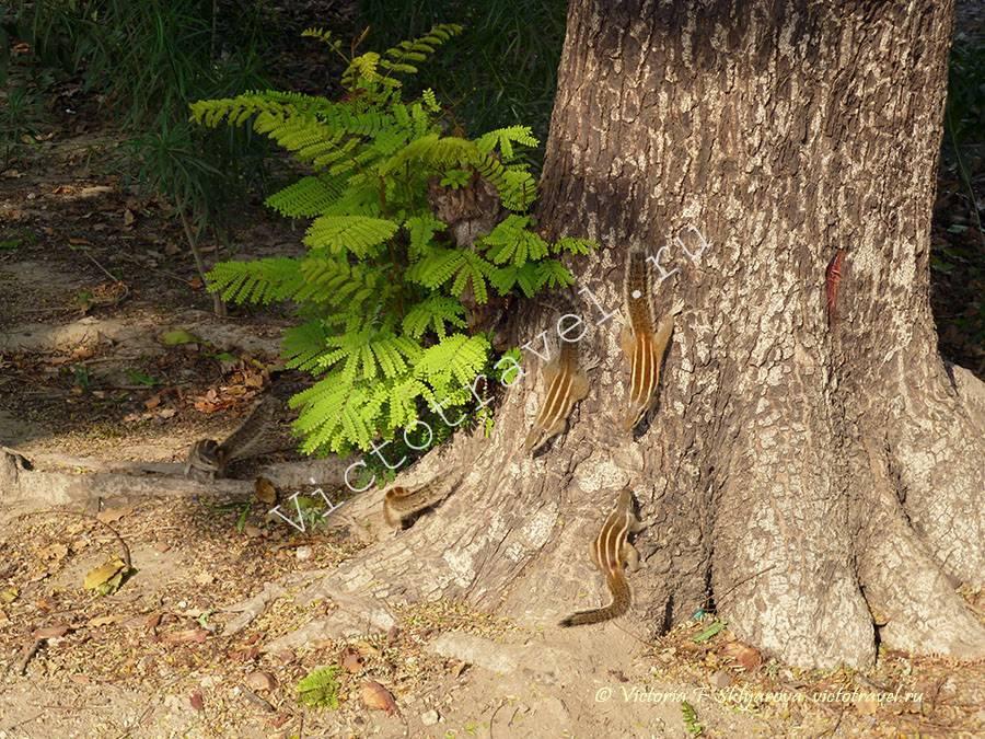 Бурундуки в парке Тадж Махал, Агра, Индия