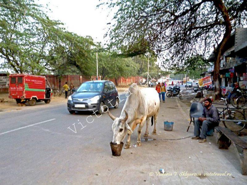 корова, улица в городе Агра, Индия