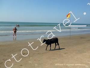 фото-пляж, море, корова, Арамболь, Гоа, Индия