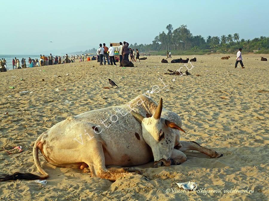 корова, пляж, Гокарна, Индия