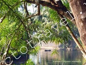 речка, канал, корова плывёт, природа, деревья, Гокарна, Индия