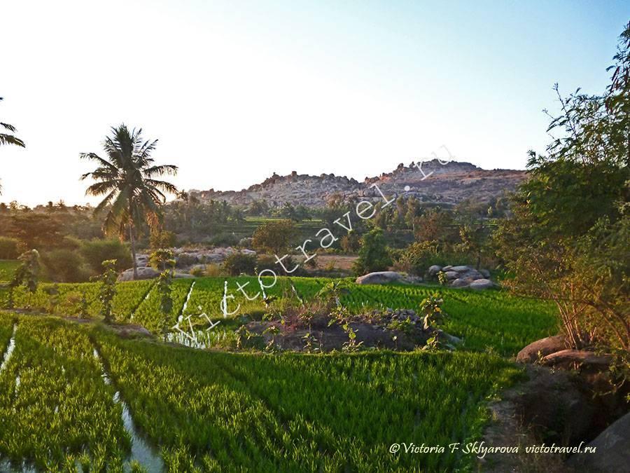 рисовое поле, закат, Хампи, Индия