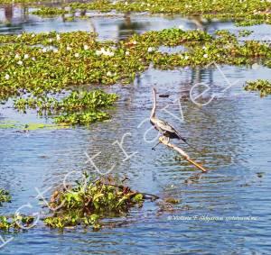 серая цапля на воде, Аллепи, Керала, Индия
