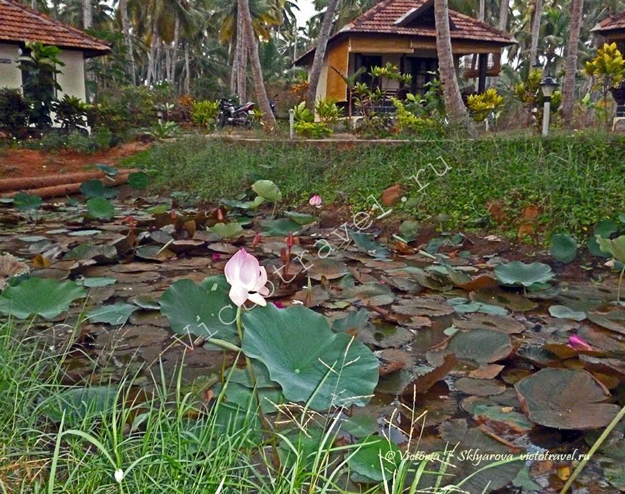 лотосы в отеле, Варкала, Керала