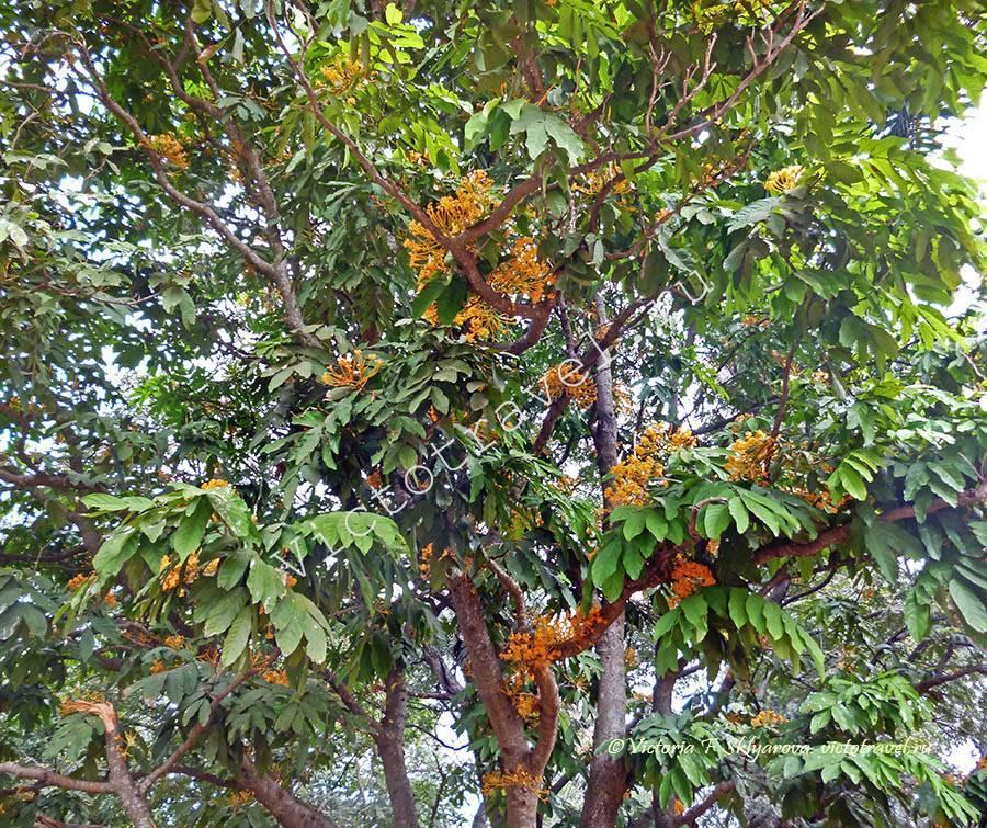 цветы, дерево Ботанический сад Бангалор, Индия