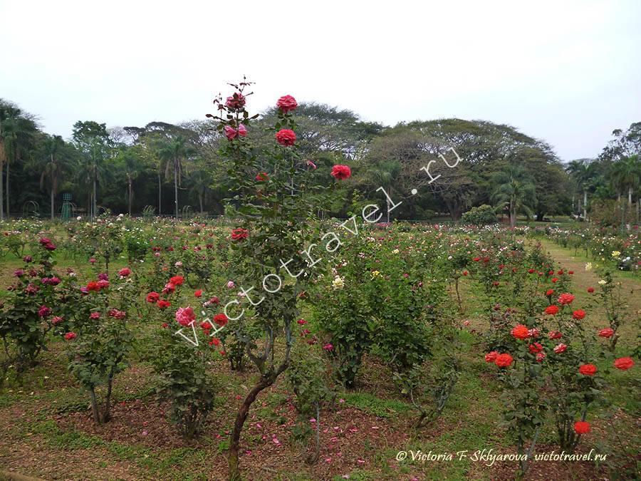 розарий, Ботанический сад, Бангалор, Индия