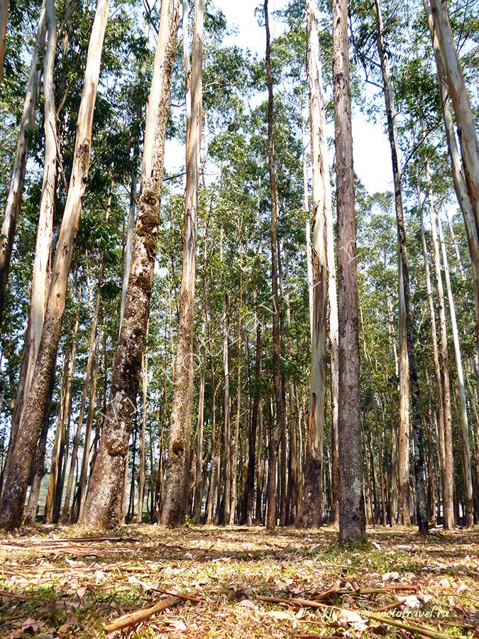 Эвкалиптовый лес, Муннар, Керала, Индия