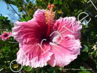 цветок, гибискус