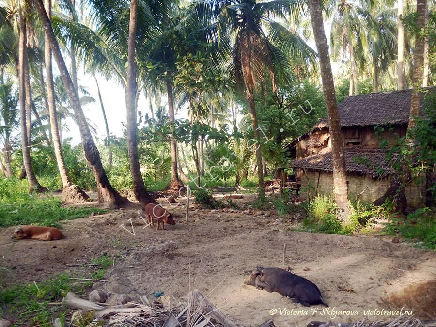 хрюшки в пальмах, Мьянма