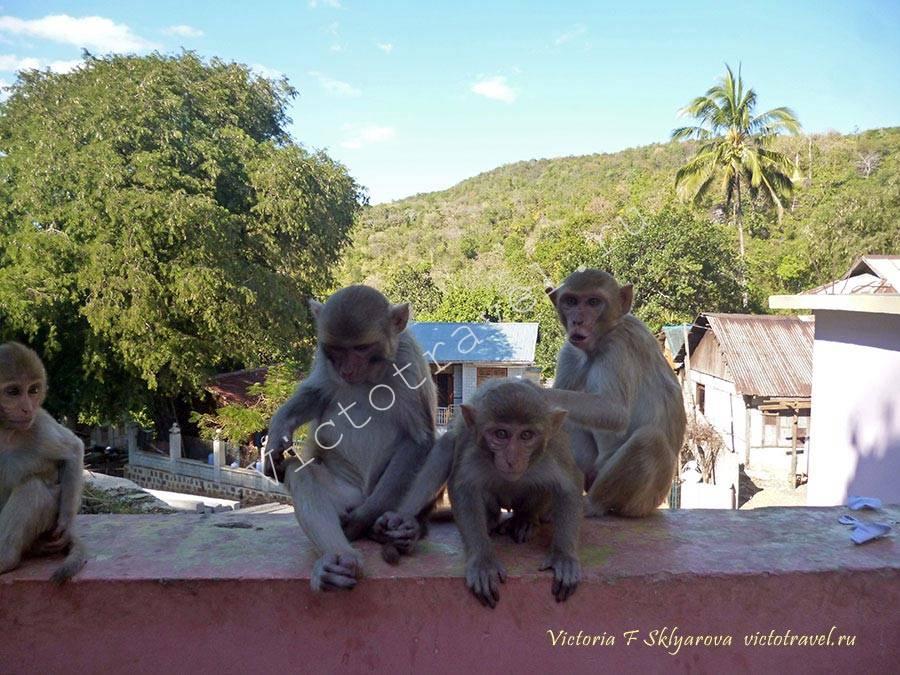 обезьяны у храма на горе Попа, Мьянма-Mt-Popa39