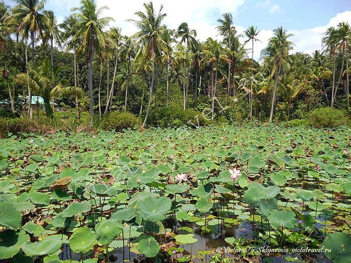 озеро, лотосы, пальмы на острове Пулау Убин в Сингапуре, Singapore16s