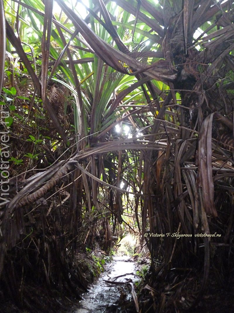 заросли пандануса у Сибаяк, Берастаги, Суматра, Индонезия