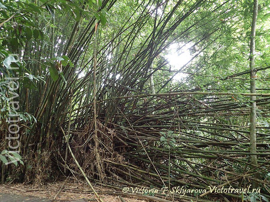 бамбук,природа, нацпаркТаман Негара, Малайзия