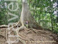 дерево, природа, дождевой лес, Таман Негара, малайзия