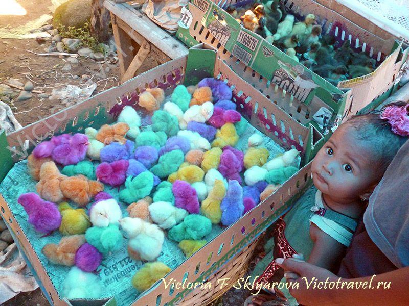 цыплята, маленькая девочка, взгляд, Букит Лаванг, Суматра
