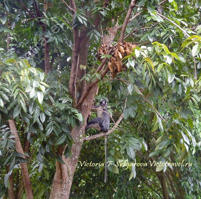 обезьяна, дерево, Tomas Leaf monkey, Tomas's Langur