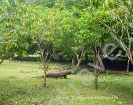 Дракон Комодо, остров Комодо, Индонезия