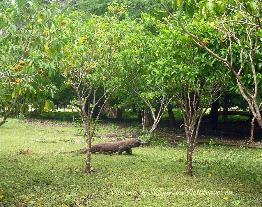 Дракон Комодо, Индонезия